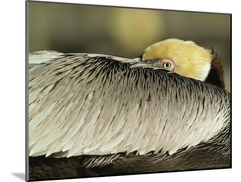 Brown Pelican with Its Head Tucked Behind Its Wing-Klaus Nigge-Mounted Photographic Print
