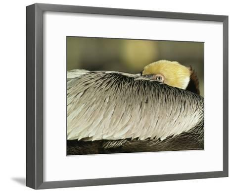 Brown Pelican with Its Head Tucked Behind Its Wing-Klaus Nigge-Framed Art Print