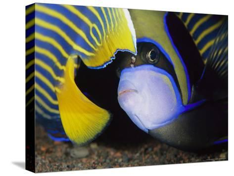 Head and Tail of a Pair of Emperor Angelfish-Tim Laman-Stretched Canvas Print