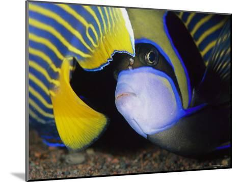 Head and Tail of a Pair of Emperor Angelfish-Tim Laman-Mounted Photographic Print
