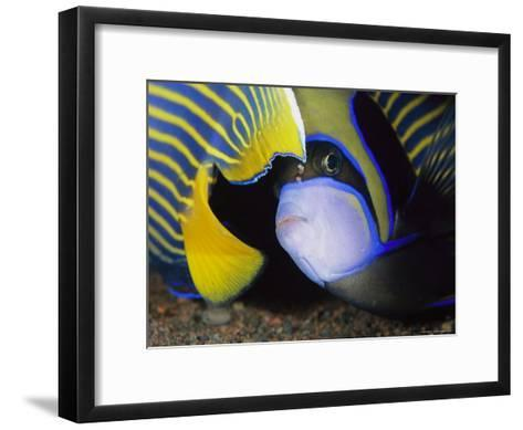 Head and Tail of a Pair of Emperor Angelfish-Tim Laman-Framed Art Print