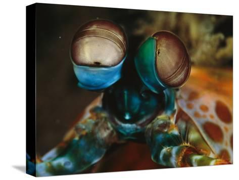 Close View of the Eyes of a Smashing Peacock Mantis Shrimp-Tim Laman-Stretched Canvas Print