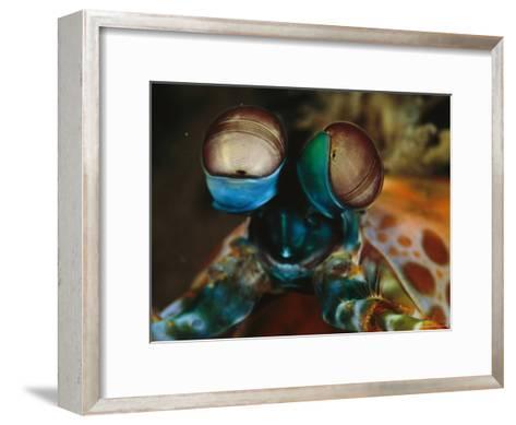 Close View of the Eyes of a Smashing Peacock Mantis Shrimp-Tim Laman-Framed Art Print