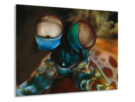 Close View of the Eyes of a Smashing Peacock Mantis Shrimp-Tim Laman-Metal Print