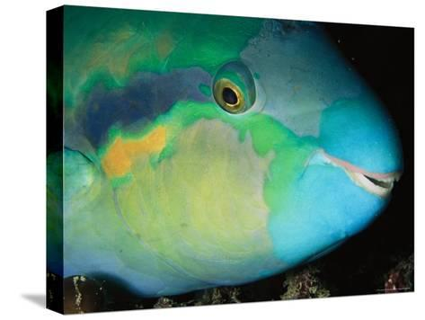 Close View of the Eye and Mouth of a Yellowbarred Parrotfish-Tim Laman-Stretched Canvas Print