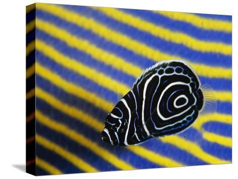 Juvenile Emperor Angelfish Swimming Next To a Larger Adult-Tim Laman-Stretched Canvas Print