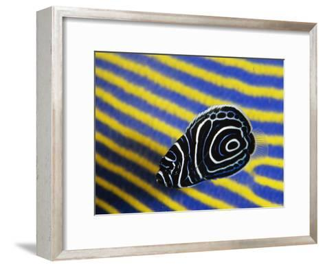 Juvenile Emperor Angelfish Swimming Next To a Larger Adult-Tim Laman-Framed Art Print