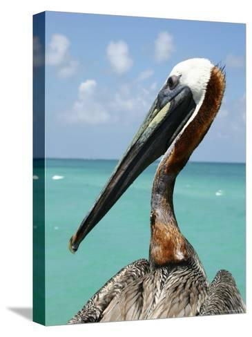 Personable Pelican Portrait Along Florida's Coastline-Stephen St^ John-Stretched Canvas Print