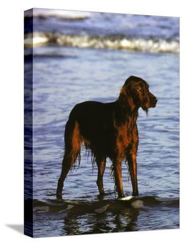 Irish Setter Stand in the Surf of the Atlantic Ocean-Rex Stucky-Stretched Canvas Print