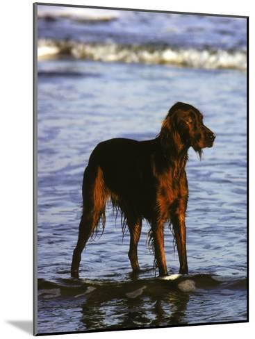 Irish Setter Stand in the Surf of the Atlantic Ocean-Rex Stucky-Mounted Photographic Print