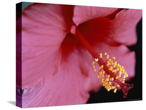 Close View of a Hibiscus Flower-Taylor S^ Kennedy-Stretched Canvas Print