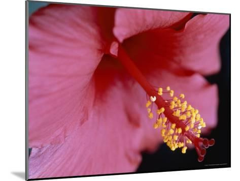 Close View of a Hibiscus Flower-Taylor S^ Kennedy-Mounted Photographic Print
