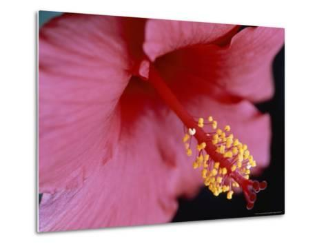 Close View of a Hibiscus Flower-Taylor S^ Kennedy-Metal Print