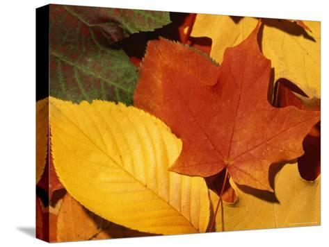 Colourfull Fall Leaves Lie in a Pile-Taylor S^ Kennedy-Stretched Canvas Print