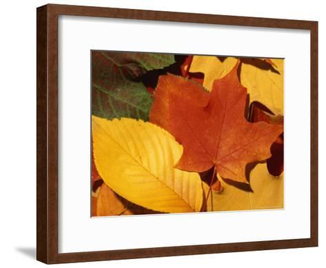 Colourfull Fall Leaves Lie in a Pile-Taylor S^ Kennedy-Framed Art Print