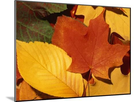 Colourfull Fall Leaves Lie in a Pile-Taylor S^ Kennedy-Mounted Photographic Print