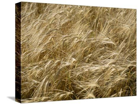 Field of Wheat Sways in the Soft Summer Breeze-Taylor S^ Kennedy-Stretched Canvas Print