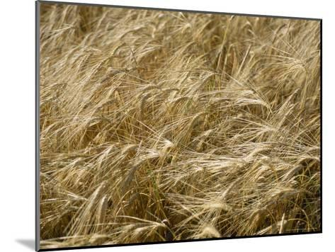 Field of Wheat Sways in the Soft Summer Breeze-Taylor S^ Kennedy-Mounted Photographic Print