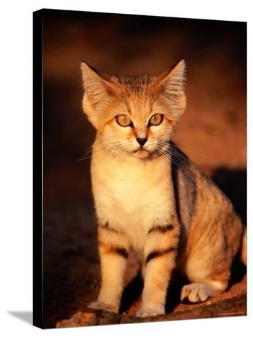 Sand Cat at the Breeding Centre for Endangered Arabian Wildlife-Mark Daffey-Stretched Canvas Print
