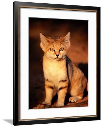 Sand Cat at the Breeding Centre for Endangered Arabian Wildlife-Mark Daffey-Framed Art Print