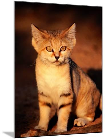 Sand Cat at the Breeding Centre for Endangered Arabian Wildlife-Mark Daffey-Mounted Photographic Print