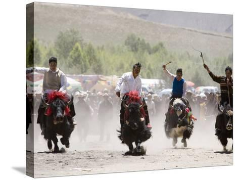 Yak Racing at Gyantse Horse Racing Festival-Tim Hughes-Stretched Canvas Print