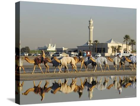 Camels at Dubai Camel Racecourse, Late Afternoon-Terry Carter-Stretched Canvas Print