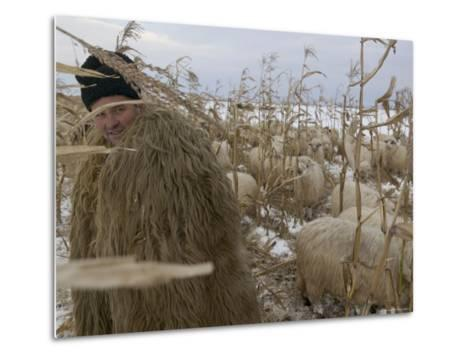 Shepherd Wrapped in Sheep's Fleece Tends to His Sheep, Transylvania-Gavin Quirke-Metal Print