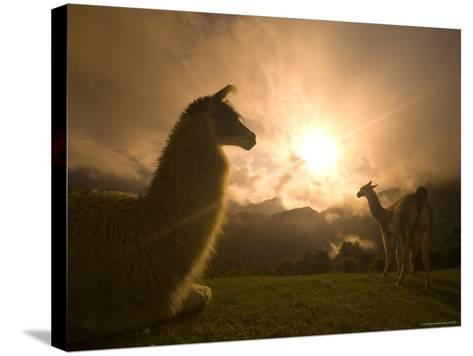 Llama and Clearing Mist Along Inca Trail-Ralph Lee Hopkins-Stretched Canvas Print