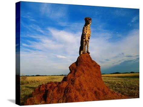 Cheetah-Dave Hamman-Stretched Canvas Print