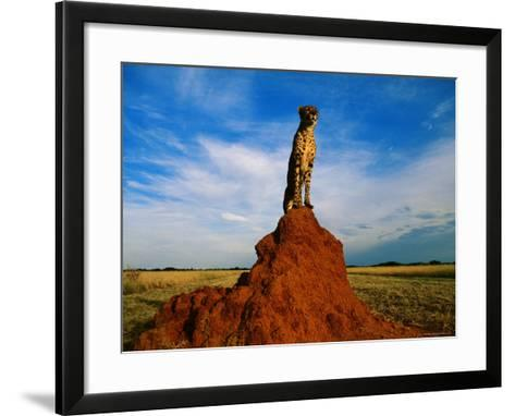 Cheetah-Dave Hamman-Framed Art Print