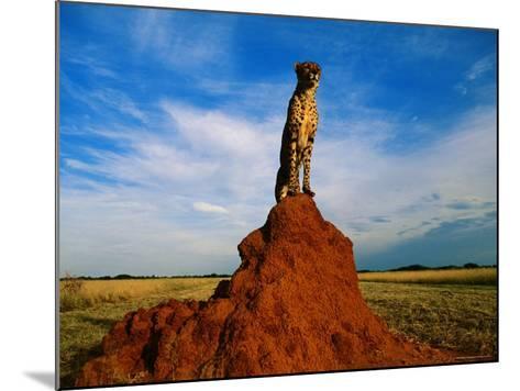 Cheetah-Dave Hamman-Mounted Photographic Print