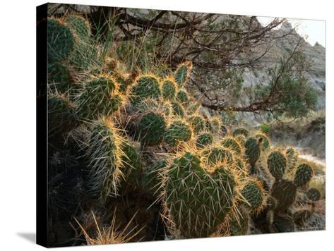 Ball Cactus or Pincushion Cactus in the Northern Region of Theodore Roosevelt National Park-Rob Blakers-Stretched Canvas Print