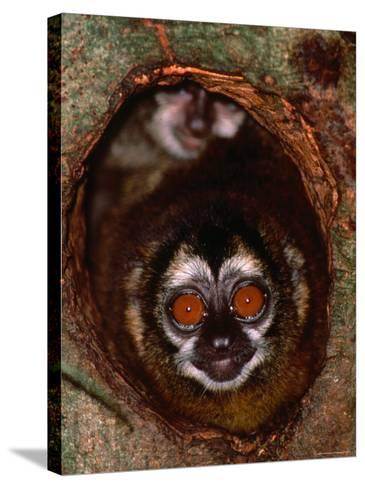 Nocturnal Nightowl Monkey, Which Ranges in the Wild Throughout Central and South America-Tom Boyden-Stretched Canvas Print