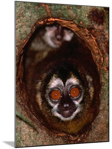 Nocturnal Nightowl Monkey, Which Ranges in the Wild Throughout Central and South America-Tom Boyden-Mounted Photographic Print