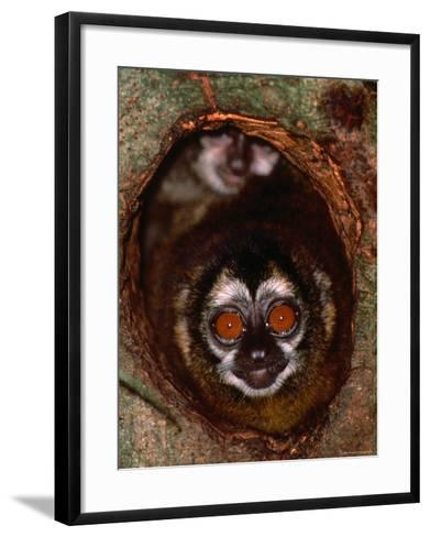 Nocturnal Nightowl Monkey, Which Ranges in the Wild Throughout Central and South America-Tom Boyden-Framed Art Print