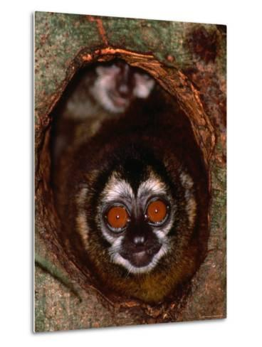 Nocturnal Nightowl Monkey, Which Ranges in the Wild Throughout Central and South America-Tom Boyden-Metal Print