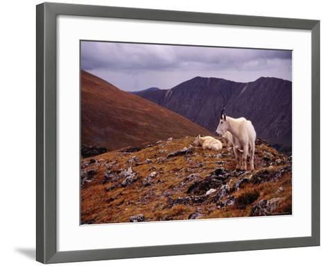 Front Range Mountain Goats on Gray's Peak in the Rockies-Karl Lehmann-Framed Art Print