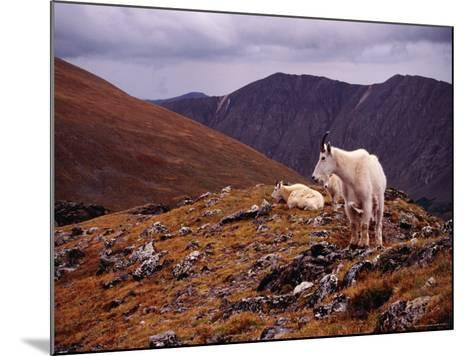 Front Range Mountain Goats on Gray's Peak in the Rockies-Karl Lehmann-Mounted Photographic Print