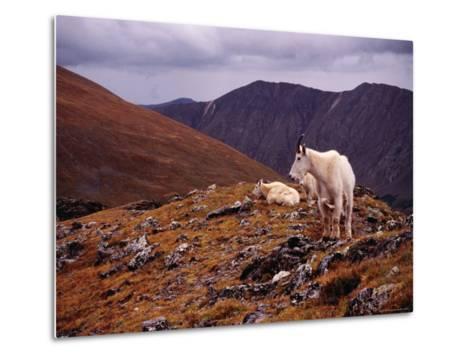 Front Range Mountain Goats on Gray's Peak in the Rockies-Karl Lehmann-Metal Print