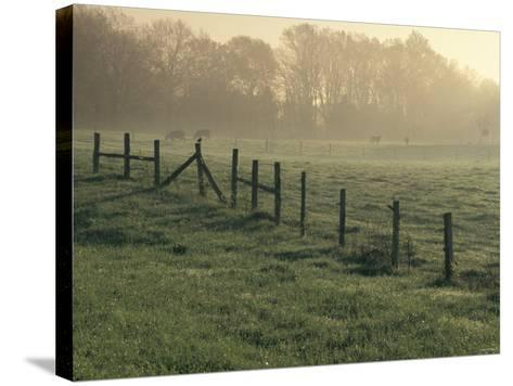 Cows in Morning Mist Along the Natchez Trace, Alabama--Stretched Canvas Print