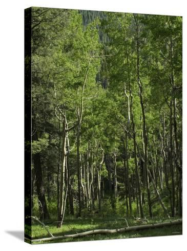 Aspen Forest in the Pecos Wilderness, Sangre De Cristo Mountains, New Mexico--Stretched Canvas Print