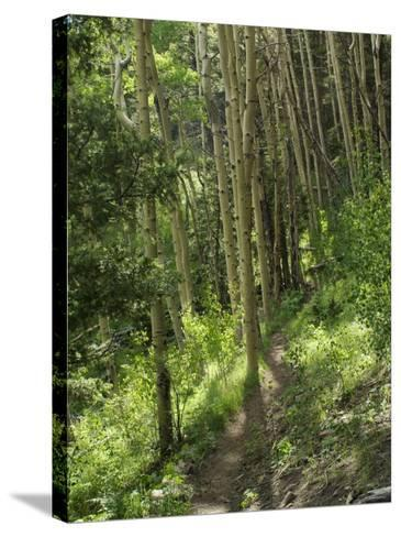 Trail Through Aspen Forest in the Pecos Wilderness, Sangre De Cristo Mountains, New Mexico--Stretched Canvas Print