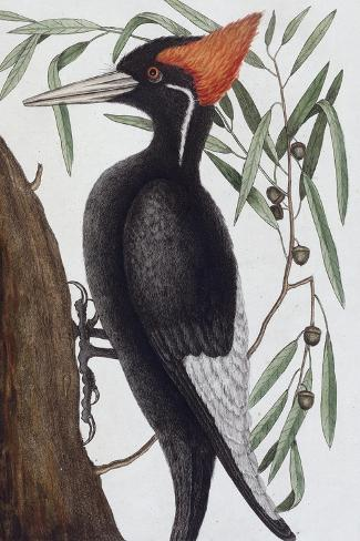 Large White Billed Woodpecker, Natural History of Carolina, Florida and the Bahamas Islands, 1731-Mark Catesby-Stretched Canvas Print