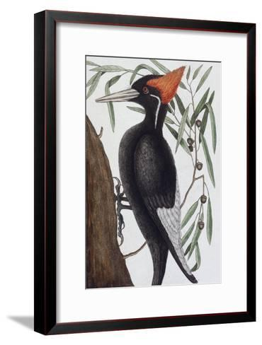 Large White Billed Woodpecker, Natural History of Carolina, Florida and the Bahamas Islands, 1731-Mark Catesby-Framed Art Print