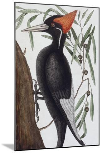 Large White Billed Woodpecker, Natural History of Carolina, Florida and the Bahamas Islands, 1731-Mark Catesby-Mounted Giclee Print