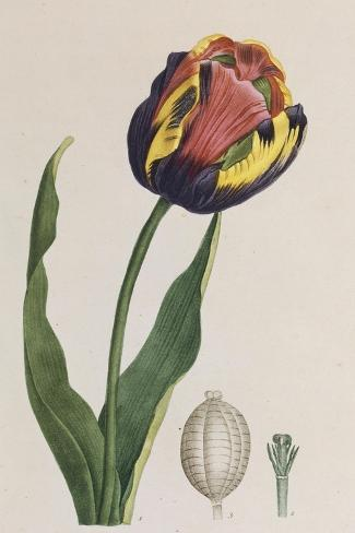 Tulip, French Plants, Painted from Nature--Stretched Canvas Print