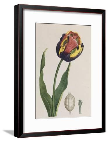 Tulip, French Plants, Painted from Nature--Framed Art Print