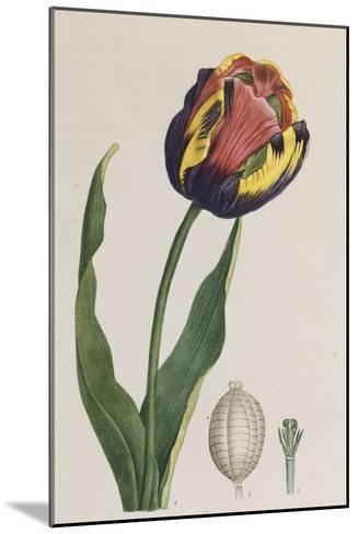 Tulip, French Plants, Painted from Nature--Mounted Giclee Print