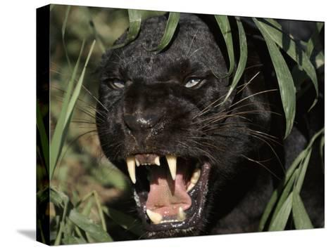 Melanistic (Black Form) Leopard Snarling, Often Called Black Panther-Lynn M^ Stone-Stretched Canvas Print